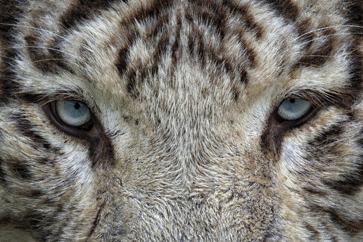 Biały tygrys. Feng Shui. Symbol. Cztery Mityczne Zwierzęta. Bazi