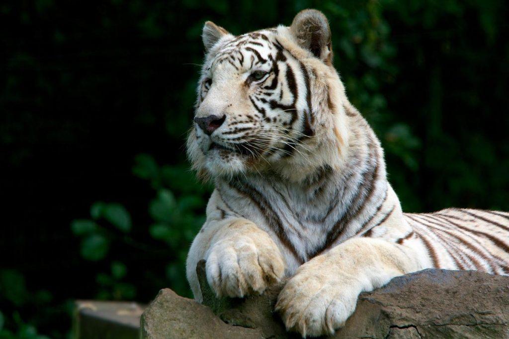 Tygrys biały to w końcu drzewo czy metal? Zależy z jakiej perspektywy na niego spojrzymy.