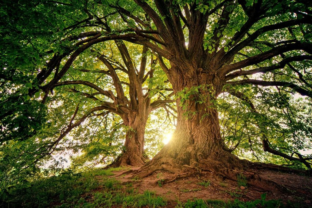 Dzień-mistrz Drzewo Yang. Jia 甲. Cztery filary przeznaczenia